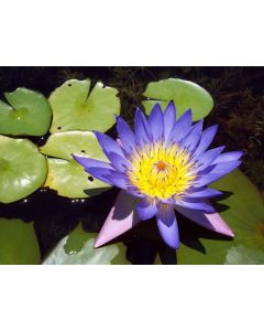 Blue Lotos / Blauer Lotus Extrakt 100:1