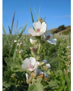 Echter Eibisch, Althaea Officinallis